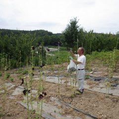 ブラックマロウは最後の花摘み作業