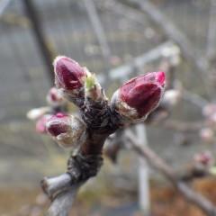 アーモンドの蕾は花を広げるタイミングを窺っているようです