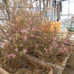 ハウスの中ではプランターに移し替えて冬を越したマヌカが花を咲かせています