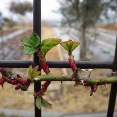 つるバラは次々に葉を広げ始めました