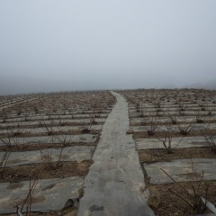 農場のローズ畑は濃霧に包まれています