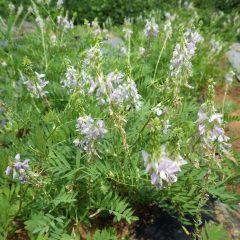 ガレガ・オフィシナリスに花が咲きました