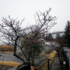 雪混じりの雨の中、アーモンドの蕾が赤く染まっています