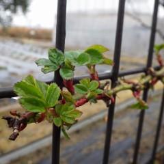 つるバラは緑の葉を広げています