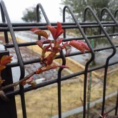 今日も冷たい雨が降る事務局前のつるバラは寒さに負けず日毎に大きく育っています