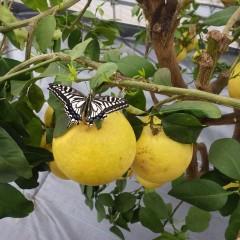 グレープフルーツに羽化したばかりのアゲハチョウが羽を広げていました