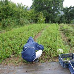 小雨の中、雨合羽を着てスペアミントの収穫作業が行われました