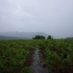 収獲が終わる頃には雨は本降りとなりました