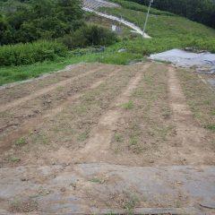 全てのカモマイル・ジャーマン畑の防草シート撤去作業が終わりました