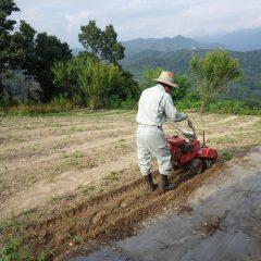 硬くなったカモマイル・ジャーマン畑の耕耘作業も始まりました