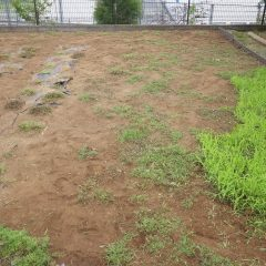 カモマイル・ローマンの苗を傷めない様に除草するのは手間が掛かります