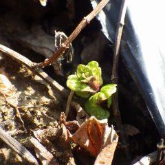 次男坊スペアミントも新芽を出し始めました
