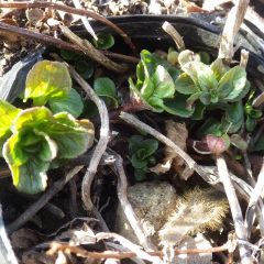 三男坊ベルガモットミントは元気良く芽を出しました
