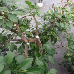 枯れた枝や食害にあった枝葉を剪定して風通しを良くしました
