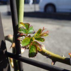 事務局前のつるバラの葉が開きました