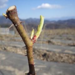新芽もこんなに伸びています