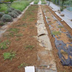 事務局裏のカモマイル・ローマン畑は綺麗に除草されました