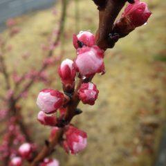 アプリコットの蕾は今にも咲き出しそうなくらい膨らんでいます