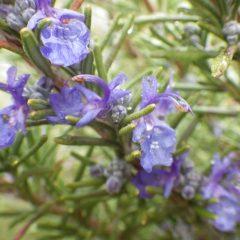 ローズマリーの花びらには雨粒が溜まっていました