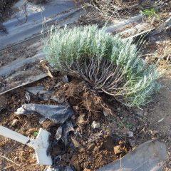 枯れかけた株を掘り起こして生きている枝だけ残しました