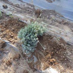 生きている枝を移植しました