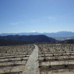 農場のローズ畑は澄み渡り富士山が綺麗に見えました