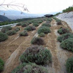 綺麗に片付いたラベンダー・スーパー&グロッソ畑