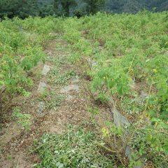 ローズ畑では下枝の切り取りと除草が行われています
