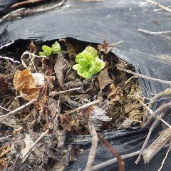 スペアミントも小さな新芽を出しました