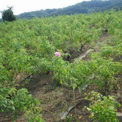 ローズ畑の除草作業中にダマスクローズの花を見つけました