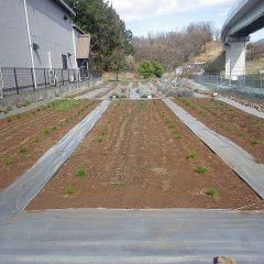 新しいカモマイル・ジャーマン畑に苗を定植をしました