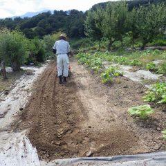 ブラックマロウ畑の一部を来年の為に耕耘しました