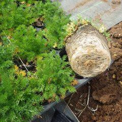 秋から育てていた苗はポットいっぱいに根が回っていました