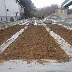 約360鉢の苗を定植して作業終了