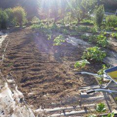 ブラックマロウ畑は整地して終了