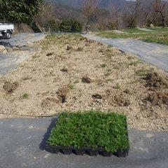 カモマイルの少ない所に苗を補植します