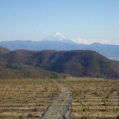 夕方、雲が風に飛ばされて富士山が現れると共に若葉が夕日を浴びて若草色に輝いています