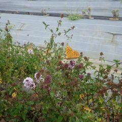 秋には数少ないベルガモットミントの花に蝶や蜂が集まってきます