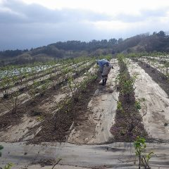 そして、ローズ畑では除草作業が始まっています
