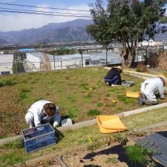 カモマイル・ローマン畑の除草作業