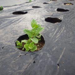 移植したスペアミントは無事に新芽が出てくれました