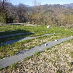 蕾が沢山出来始めたカモマイル・ジャーマン畑の除草作業