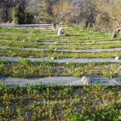 本格的に花を咲かせ始める前に最後の除草作用が夕暮れまで続けられました