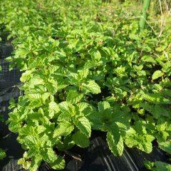こちらも収穫後に芽を出したスペアミント