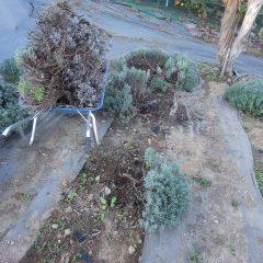 枯れてしまった中心部の枝を取り除きました