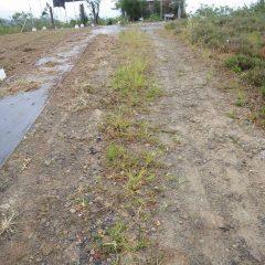 パラパラと雨が降り出す中、通路の除草作業