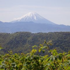 ローズ畑から望む富士山