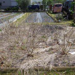 レモンバーベナも地上部は枯れ枝のようです