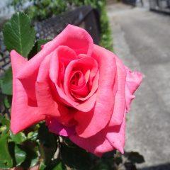 つるバラも一輪咲きました