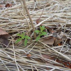 レモンバーベナの新芽が顔を出しました
